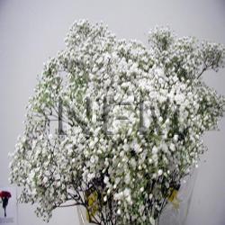 gypsophilia million star wholesale flowers