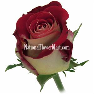 Roses friendship bi color orgyelred for What color is the friendship rose